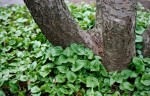 Types of Ground Cover Plants and How to Plant Them