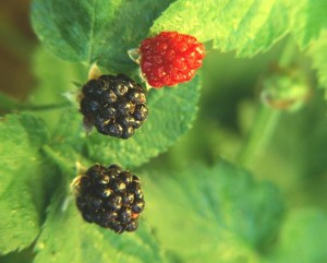 growing berries