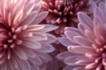 Growing Chrysanthemums and Chrysanthemum Classification