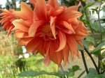 Growing Dahlias – Cultivation of Dahlia Flowers