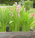 Growing Lilies in Garden Pots and Planters