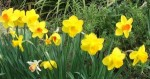 Planting Daffodils for a Splash of Gold in Your Garden