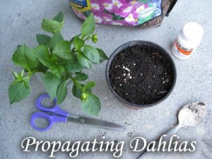 propagating dahlias