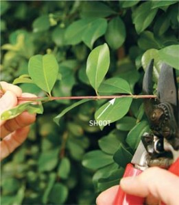 propagating plants: taking cuttings