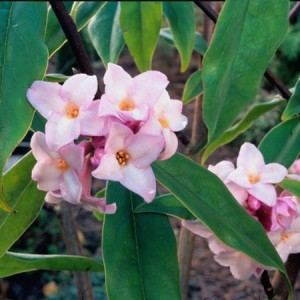 winter flowering shrubs - Daphne bholua 'Jacqueline Postill'