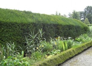 yew hedge - hedging plants