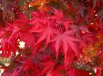 Acer – Popular Shrubs for the Garden