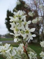 Amelanchier – Popular Shrubs for the Garden