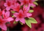 Popular Shrubs for Garden Landscape Ideas