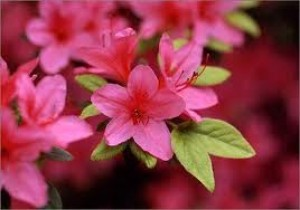 popular shrubs - Azalea