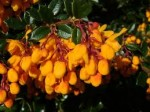 Berberis – Popular Shrubs for the Garden