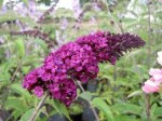 Buddleia – Popular Shrubs for the Garden