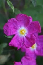 Cistus (Rock Rose) – Popular Shrubs for the Garden