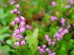 Calluna – Popular Shrubs for the Garden
