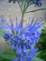 Caryopteris – Popular Shrubs for the Garden