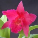 orchid types - Cattleya J. A. Carbone