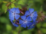 Ceratostigma – Popular Shrubs for the Garden