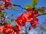 Chaenomeles – Popular Shrubs for the Garden