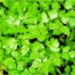 Grow Herbs – Chervil (Anthriscus cerefolium)