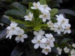 Choisya – Popular shrubs for the Garden
