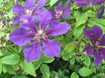 Clematis – Popular Shrubs for the Garden