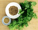 Growing Coriander – Cilantro (Coriandrum Sativum)
