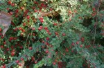 Cotoneaster – Popular Shrubs for the Garden