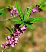 Daphne – Popular Shrubs for the Garden