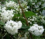 Deutzia – Popular Shrubs for the Garden