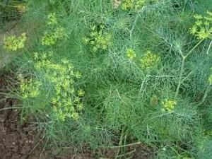 Growing Dill (Anethum graveolens)