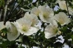 Eucryphia – Popular Shrubs for the Garden