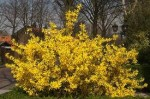Forsythia – Popular Shrubs for the Garden