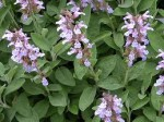 Growing Sage – Discover How to Grow Sage (Salvia officinalis)