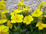 Helianthemum – Popular Shrubs for the Garden