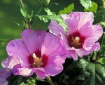 Hibiscus – Popular Shrubs for the Garden
