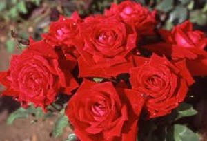 general tips for growing roses - Hybrid Tea Rose - 'Ena Harkness'