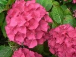 Hydrangeas – Popular Shrubs for the Garden