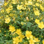 Hypericum – Popular Shrubs for the Garden