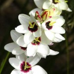Ixia (African Corn Lily)