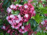 Kalmia – Popular Shrubs for the Garden