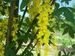 Laburnum – Popular Trees for the Garden