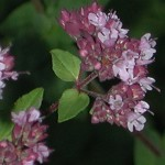 Growing Marjoram (Origanum)