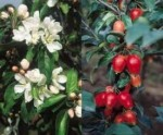 Malus (Crab Apples) – Popular Shrubs for the Garden