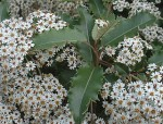 Olearia – Popular Shrubs for the Garden