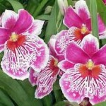 Orchid Types - Miltonia