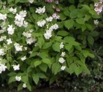 Philadelphus – Popular Shrubs for the Garden