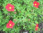Potentilla – Popular Shrubs for the Garden