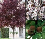 Prunus – Popular Shrubs and Trees for the Garden