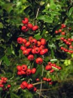 Pyracantha – Popular Shrubs for the Garden