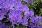 Rhododendron – Popular Shrubs for the Garden